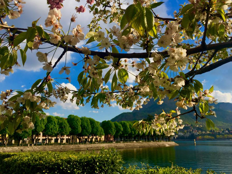 como lake cherry tree